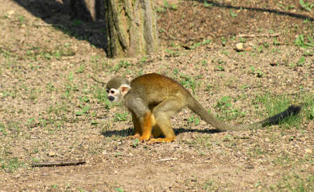 sciureus: Kotula and Saimiri monkeys (Saimiri sciureus) monkeys from a small family malpovit (Cebidae), which occupies the territory of South America, namely the states of Brazil, Colombia, Ecuador, French Guiana, Peru, Suriname, Venezuela and Puerto Rico.
