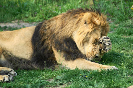 Lion (Panthera leo) is a mammal of the family cat (Felidae) and one of four big cats of the genus Panthera. Stock Photo
