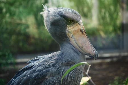 strikingly: African boatbill (Balaeniceps rex) is a large African wading bird known especially because of its strikingly shaped beak. Stock Photo
