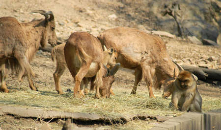 Barbary sheep (Ammotragus lervia) is a species of the subfamily goats and sheep originating from rocks in the mountains of North Africa. photo