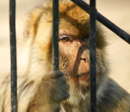 sylvanus: magot monkeys - macaca sylvanus Stock Photo