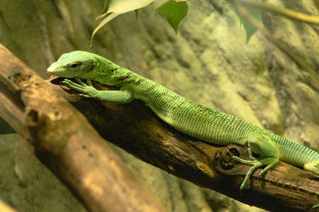 emerald monitor (varanus prasinus) is a medium-sized arboreal lizard that lives in new guinea and the northern australian state of queensland Stock Photo