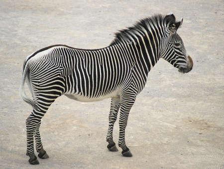 Grevys zebra (Equus grevyi) is the largest species of zebra. Its shoulder height is between 140-160 cm.