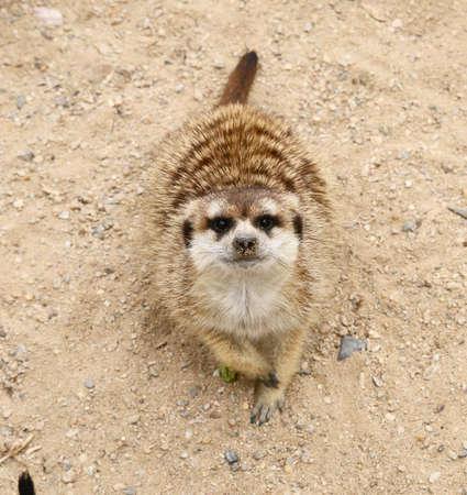 Meerkat (mongoose Meerkat, Suricata suricatta) is a daily pospolite Mongooses wild beast.