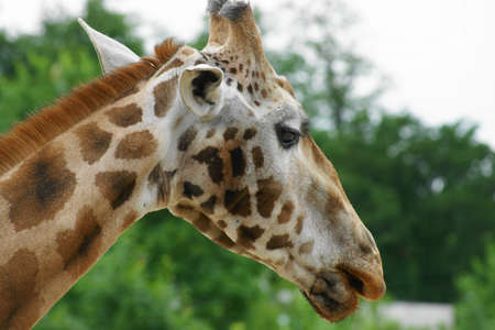Rothschilds giraffe (Giraffa camelopardalis Giraffa camelopardalis rothschildi or Rothschild) is the second most endangered subspecies of giraffes, with only a few hundred Stock Photo
