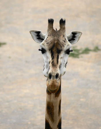 Rothschild's giraffe (Giraffa camelopardalis Giraffa camelopardalis rothschildi or Rothschild) is the second most endangered subspecies of giraffes, with only a few hundred Stock Photo - 9726775