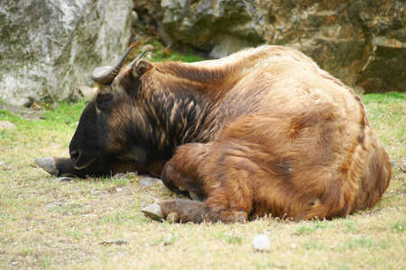 assam: Takin (Budorcas taxicolor) belongs to the subfamily of goats and sheep. Takin lived in the past, large areas of China, Bhutan, Assam and northern Burma.