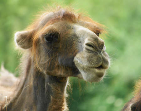 Bactrian camel (Camelus ferus Camelus bactrianus also;) is a large mammal, a critically endangered in nature and together with jednohrbým camel (Camelus dromedarius), the sole representative of the genus camel (Camelus), we classify it in the camel famil Stock Photo