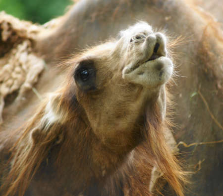 classify: Bactrian camel (Camelus ferus Camelus bactrianus also;) is a large mammal, a critically endangered in nature and together with jednohrbým camel (Camelus dromedarius), the sole representative of the genus camel (Camelus), we classify it in the camel famil Stock Photo