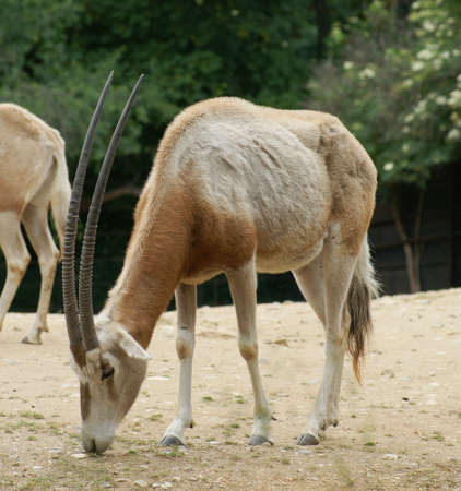 Horned oryx (Oryx dammah) is a type Oryxes, which formerly inhabited large parts of northern Africa.