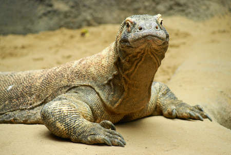 Komodo dragon (Varanus komodoensis) or a dragon lizard is the most powerful living species of lizard of the family varanovitých. For its size, ferocity and danger is called.