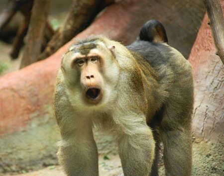 macaque: Pig est un singe macaque moyennes entreprises peuvent cro�tre jusqu'� 15 kg de poids et la hauteur de 60 pouces. Banque d'images