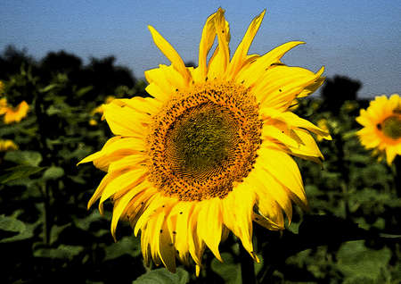 Sunflowers (Helianthus L., 1753) is a genus of herbs high in the family Asteraceae.