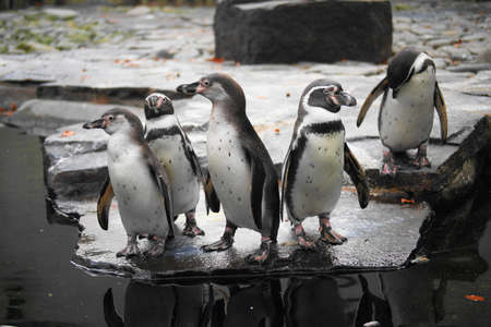 Humboldt penguin  photo
