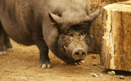 slut: Pig  Stock Photo