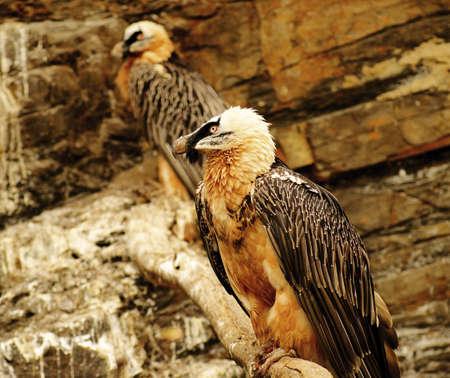 bearded vulture  photo