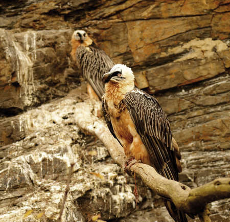 bearded vulture  Stock Photo - 11512423