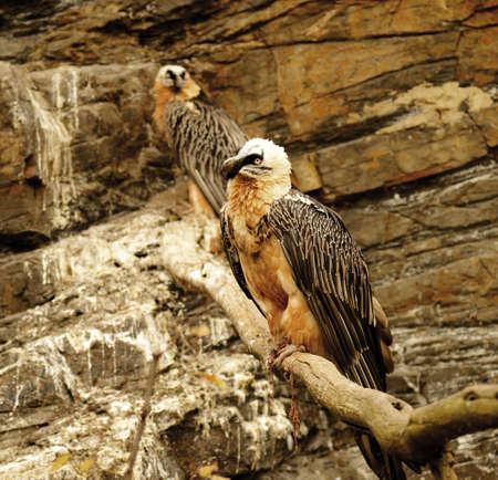 beak vulture: bearded vulture
