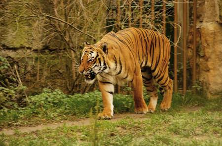 sumatran: Sumatran Tiger  Stock Photo