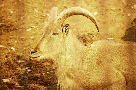 Barbary sheep photo
