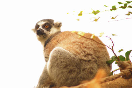 Tailed lemur  Stock Photo