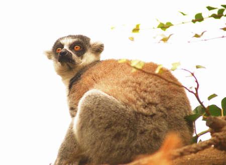 catta: Tailed lemur (Lemur catta) in Prague Zoo Stock Photo