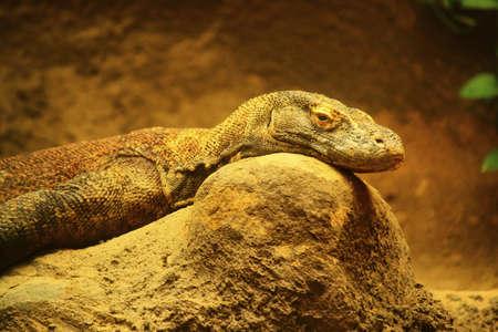 varanus: Komodo dragon, (Varanus komodoensis)