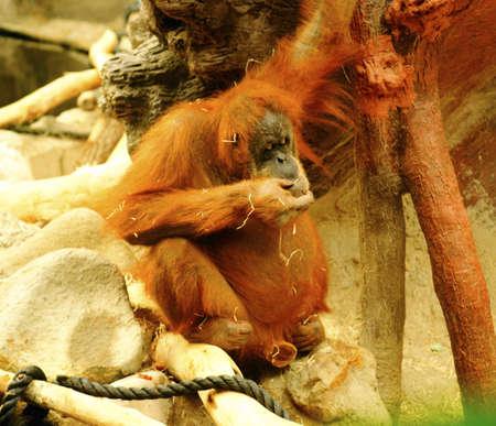 Orangutan (Pongo pygmaeus) Stock Photo - 11512630