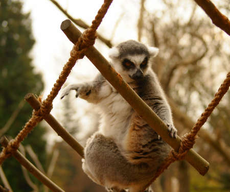 Tailed lemur (Lemur catta) Stock Photo