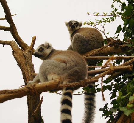 catta: Tailed lemur (Lemur catta)  Stock Photo