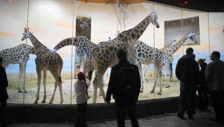 Rothschild giraffe (Giraffa camelopardalis rothschildi)  Stock Photo