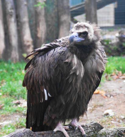 Vulture  Aegypius monachus