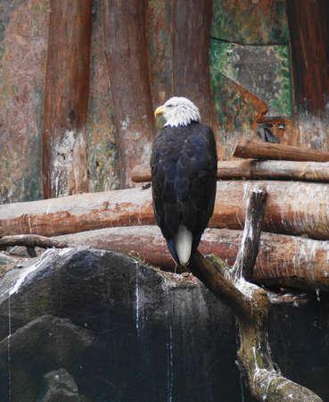 Eastern Eagle (Haliaeetus pelagicus), also known as Steller