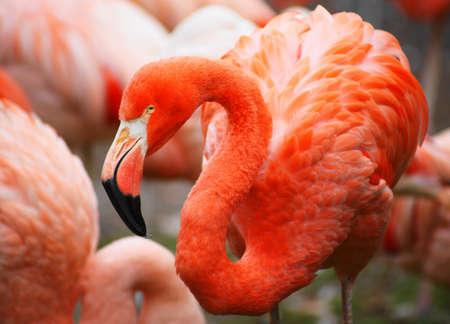 flamingo, pink  Stock Photo