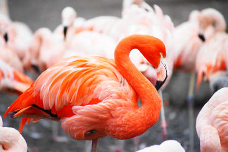flamingo, pink photo
