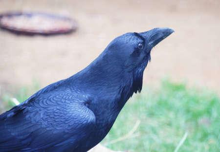 Raven (Corvus corax) Stock Photo - 11512730