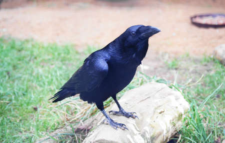 corax: Raven (Corvus corax)  Stock Photo