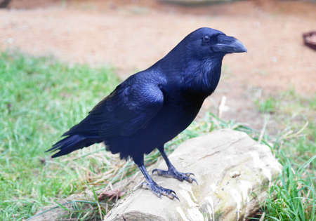 Raven (Corvus corax)  Stock Photo