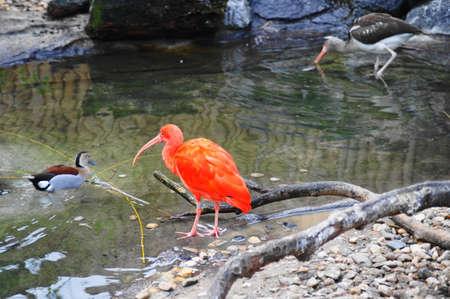 Red ibis (Eudocimus ruber)