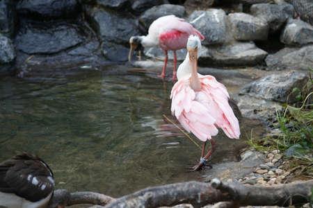 Pink Spoonbill (Platalea Ajaj)