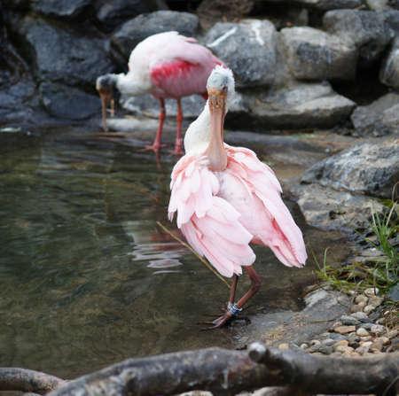 Pink Spoonbill  Stock Photo