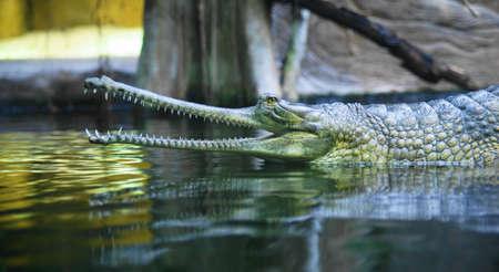 Indian gavial  Stock Photo