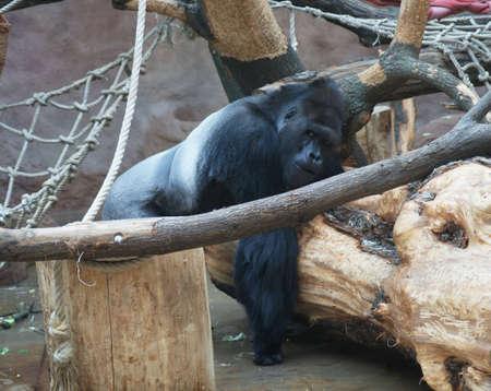 lowland: Lowland Gorilla (Gorilla gorilla gorilla) Stock Photo