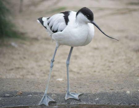 Thin-beak opposite  Recurvirostra Avosetta   Stock Photo