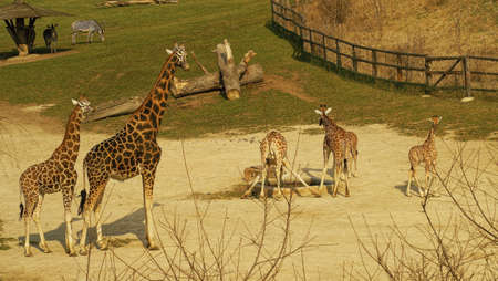 Rothschild s Giraffe, is the highest mammal, yet has only 7 cervical vertebrae like most mammals, including humans