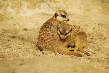 Meerkat, Class  mammals, Order  Carnivores, Family  Mongooses Stock Photo