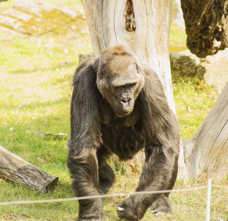 Lowland Gorilla Class  mammals, Order  Primates, Family  ape photo