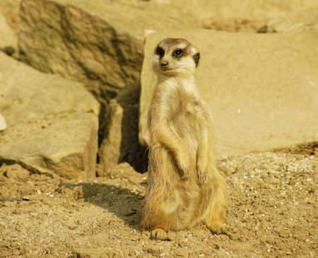 carnivores: Meerkat, Class  mammals, Order  Carnivores, Family  Mongooses Stock Photo