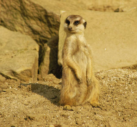 cautious: Meerkat, Class  mammals, Order  Carnivores, Family  Mongooses Stock Photo