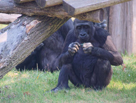 lowland: Lowland Gorilla Class  mammals, Order  Primates, Family  ape